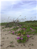 city of vero beach photograph of ocean dune flowers